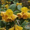 RHODODENDRON cinnabarinum subsp. xanthocodon