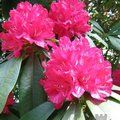 Photo of RHODODENDRON 'Cornish Red'