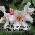 RHODODENDRON crassum