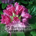 Photo of RHODODENDRON 'Germania'