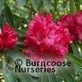 RHODODENDRON 'Glory of Penjerrick'