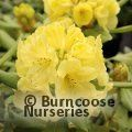RHODODENDRON 'Hachmann's Finesse'