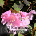 RHODODENDRON 'High Sheriff'