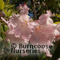 Photo of RHODODENDRON loderi 'Pink Diamond'