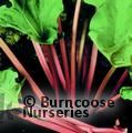 Small image of RHUBARB