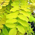 Small image of ROBINIA