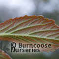 RODGERSIA 'Chocolate Wing'