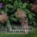 Small image of RODGERSIA