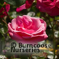 ROSA 'Pink Perpetue'