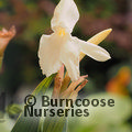 ROSCOEA 'Kew Beauty'