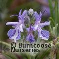 ROSMARINUS officinalis 'Primley Blue'