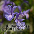 R. officinalis 'Tuscan Blue'