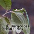 RUBUS calophyllus