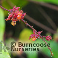 Photo of RUBUS ichangensis