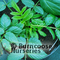 Small image of RUBUS