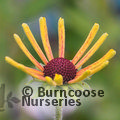 Small image of RUDBECKIA