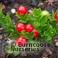 Small image of RUSCUS