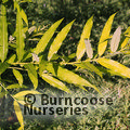 SALIX udensis 'Golden Sunshine'