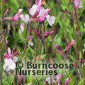 Small image of SALVIA
