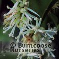 Photo of SARCOCOCCA hookeriana var humilis