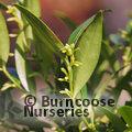 SARCOCOCCA ruscifolia var chinensis 'Dragon Gate'