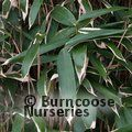 Small image of SASA - see BAMBOO