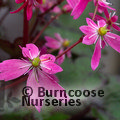 SAXIFRAGA fortunei 'Black Ruby'