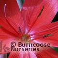Photo of HESPERANTHA coccinea 'Major'