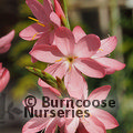 Photo of HESPERANTHA coccinea 'Sunrise'