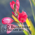 HESPERANTHA coccinea 'Oregon Sunset'
