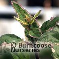 Small image of SCROPHULARIA