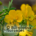 Small image of CASSIA - see SENNA
