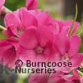 SIDALCEA 'Brilliant'