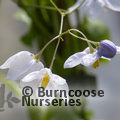 Small image of SOLANUM
