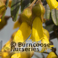 Small image of SOPHORA