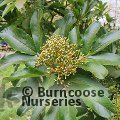 Small image of SORBUS