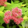 Small image of SPIRAEA