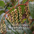 Small image of STACHYURUS