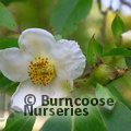 Small image of STEWARTIA