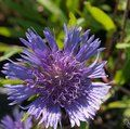 Small image of STOKESIA