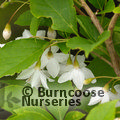 Small image of STYRAX