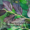 Small image of x SYCOPARROTIA