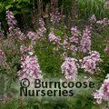 Small image of LILAC - see SYRINGA