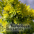 Small image of TAXUS