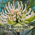 PROTEA Telopea 'Shady Lady White'