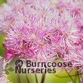 Small image of THALICTRUM