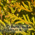 Small image of THUJA