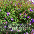 Small image of TIBOUCHINA