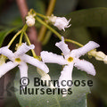 Small image of TRACHELOSPERMUM