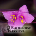 Small image of TRADESCANTIA